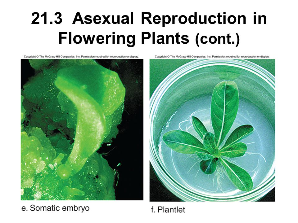 21.3 Asexual Reproduction in Flowering Plants (cont.)