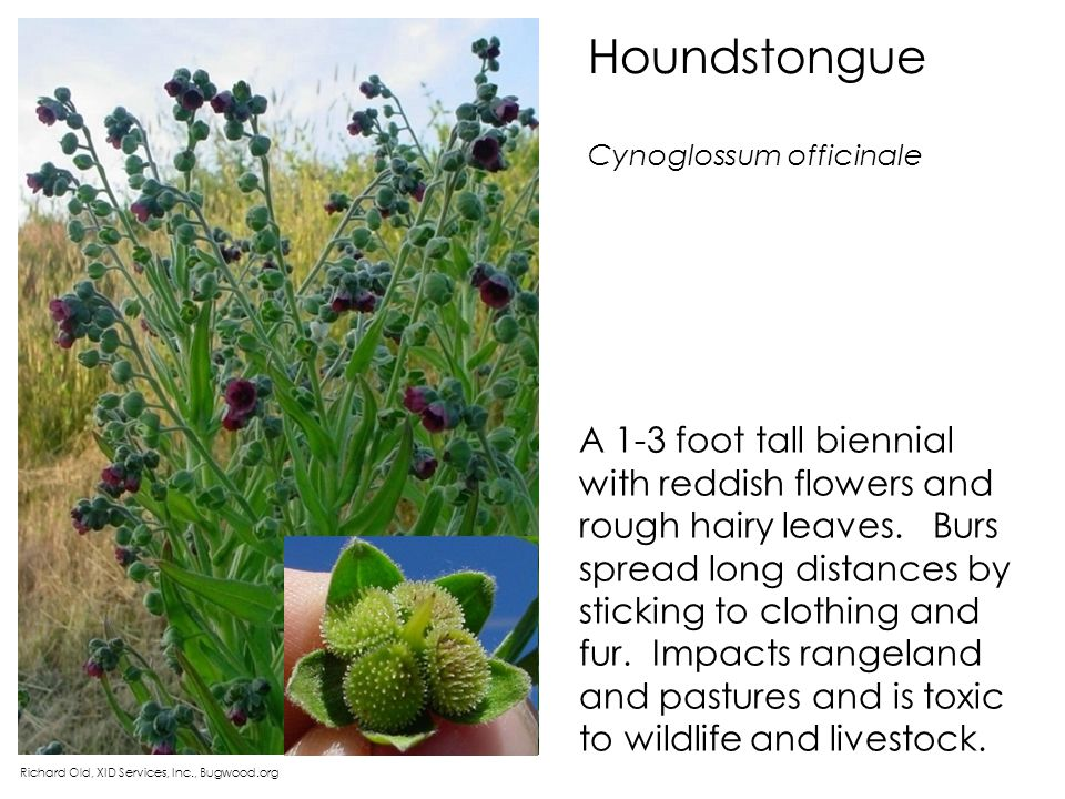 Houndstongue Cynoglossum officinale.