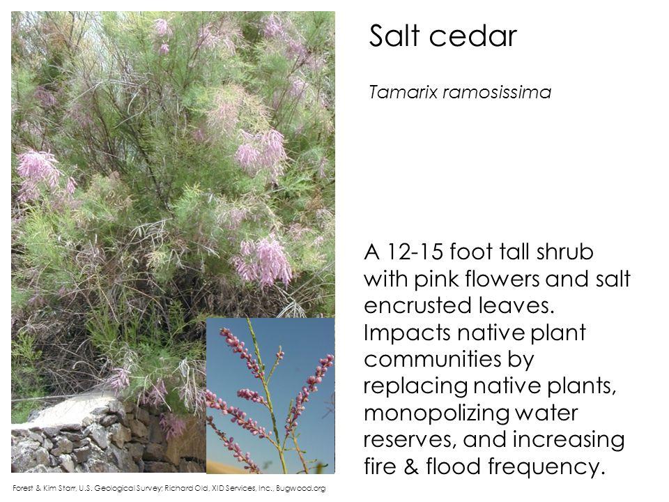 Salt cedar Tamarix ramosissima.