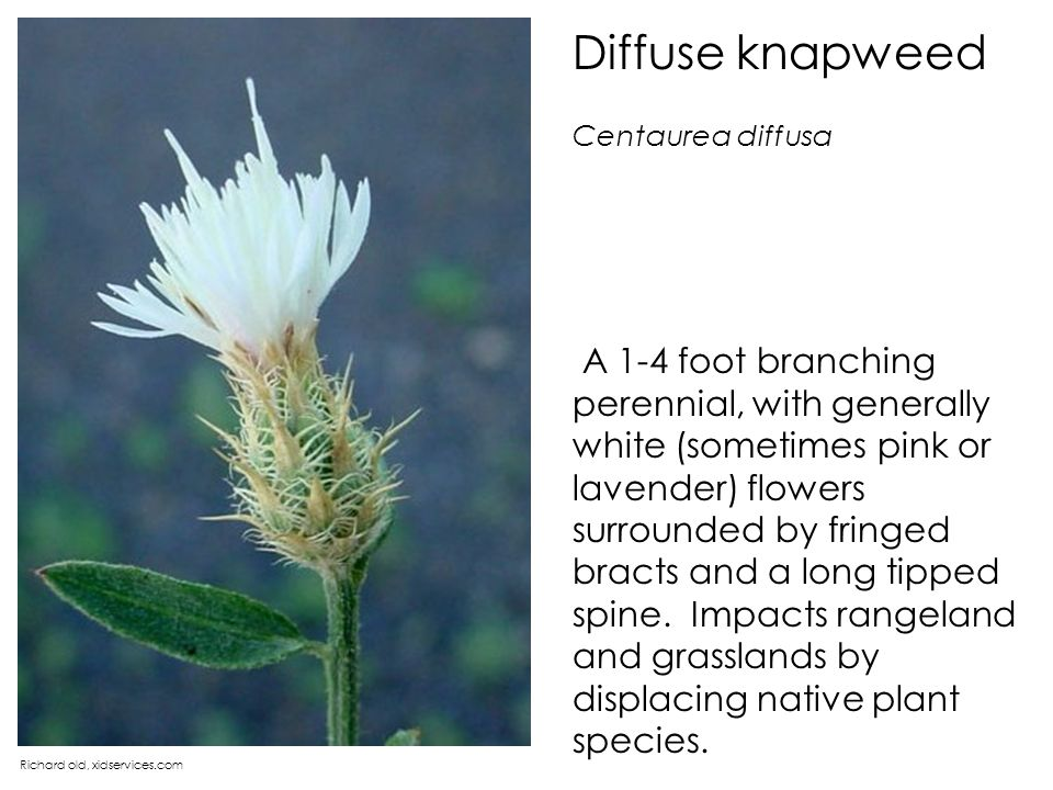 Diffuse knapweed Centaurea diffusa.