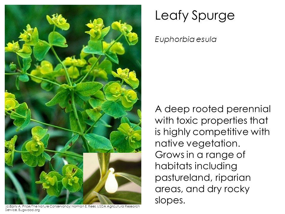 Leafy Spurge Euphorbia esula.