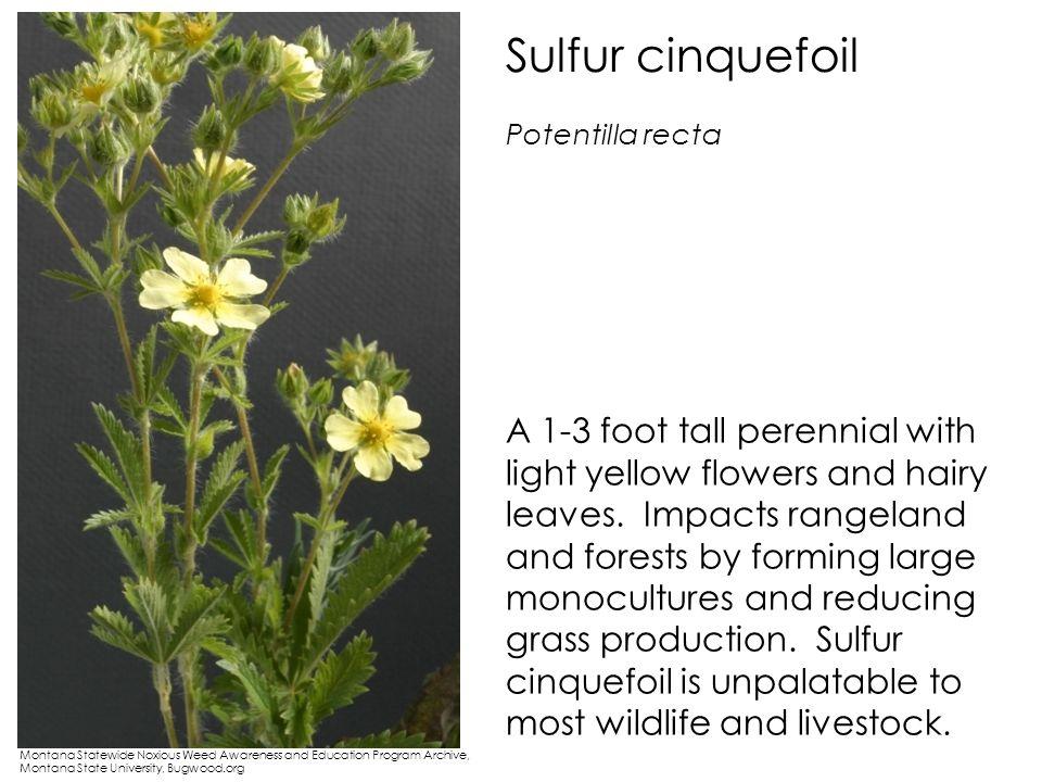 Sulfur cinquefoil Potentilla recta.