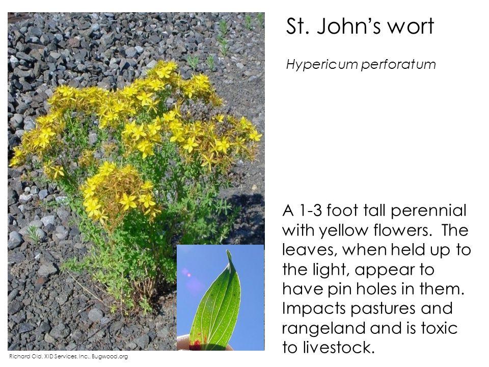 St. John's wort Hypericum perforatum.