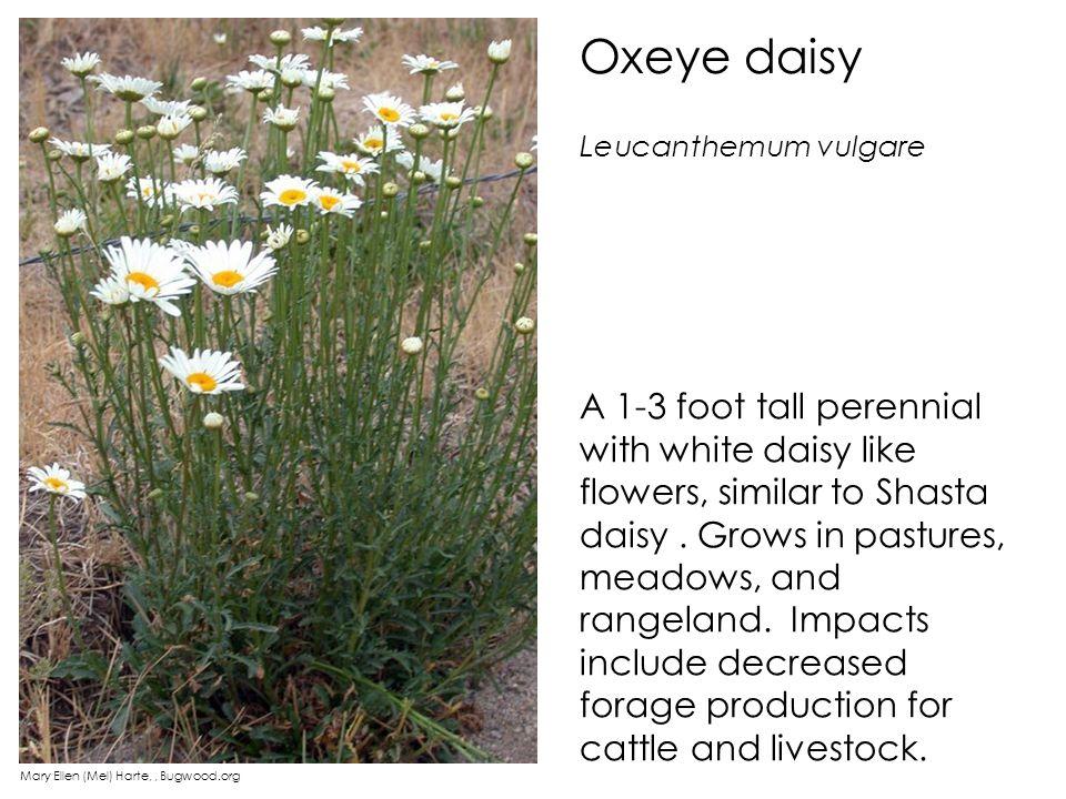 Oxeye daisy Leucanthemum vulgare.