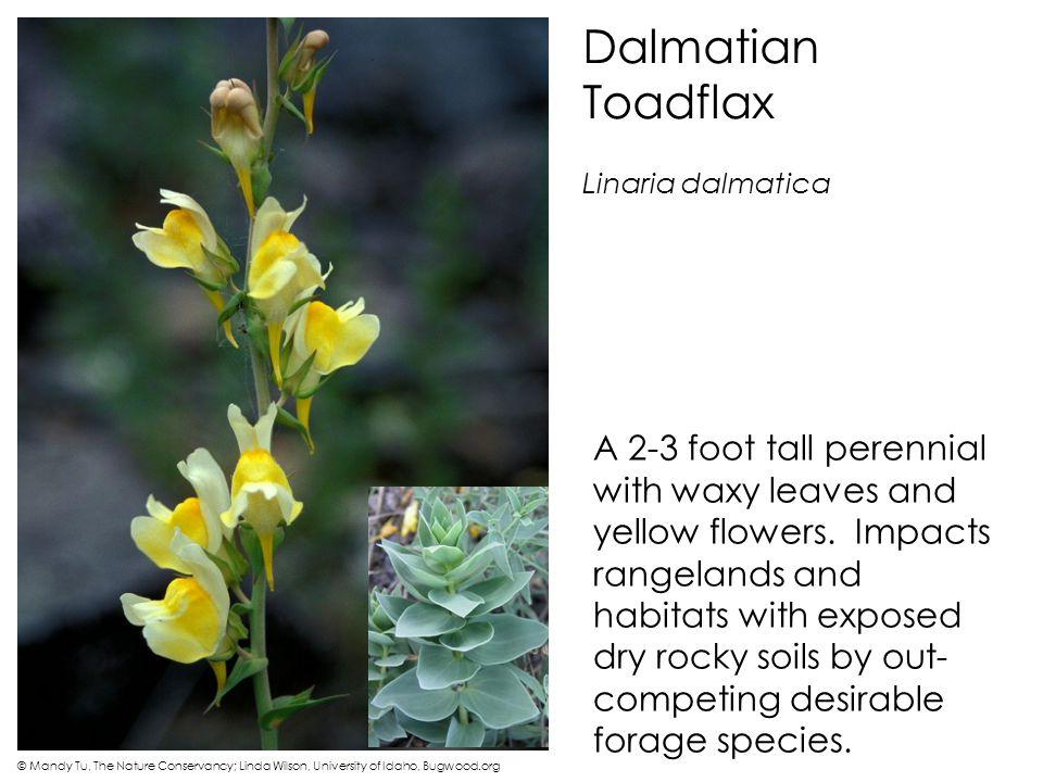 Dalmatian Toadflax Linaria dalmatica.