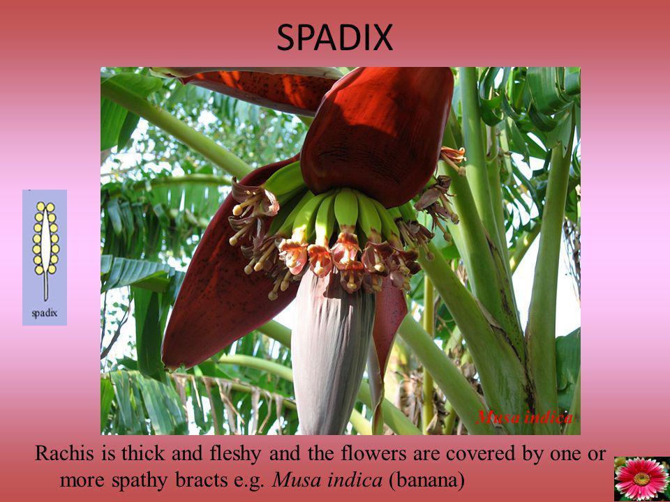 SPADIX Musa indica.