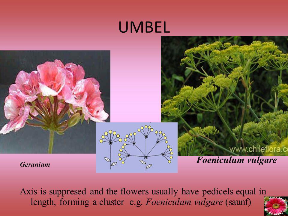 UMBEL Foeniculum vulgare