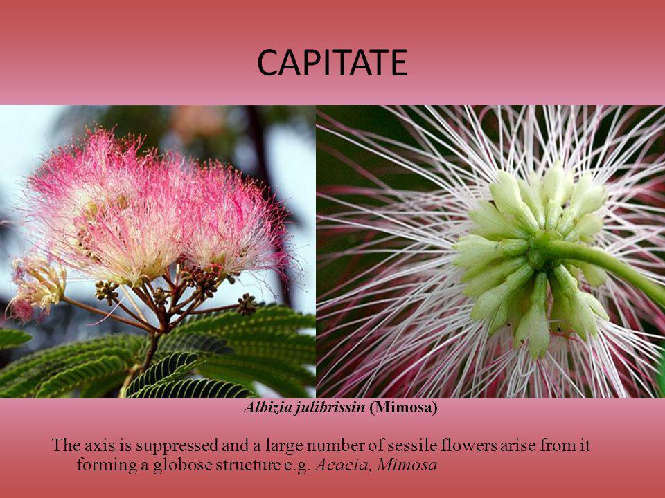 Albizia julibrissin (Mimosa)