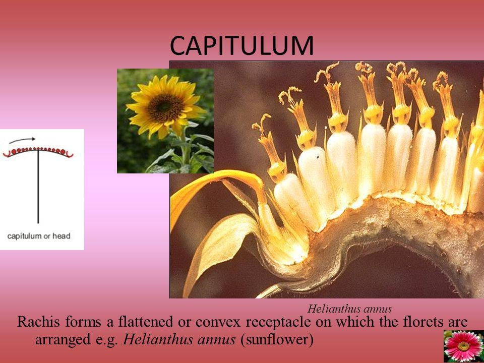 CAPITULUM Helianthus annus.