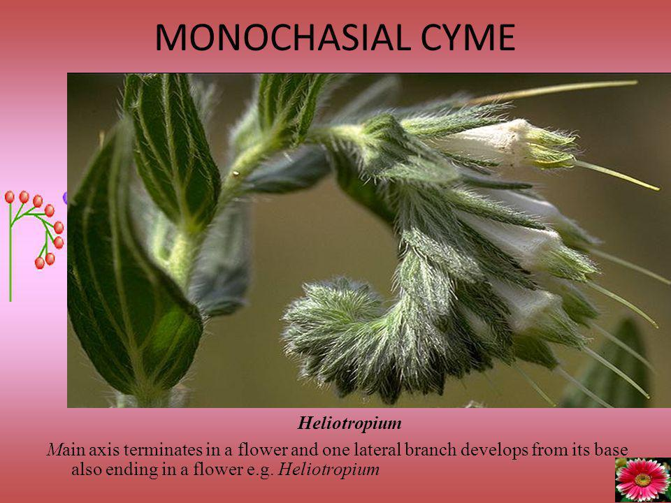 MONOCHASIAL CYME Heliotropium
