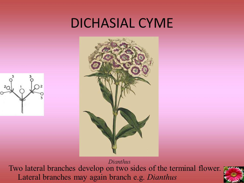 DICHASIAL CYME Dianthus. Two lateral branches develop on two sides of the terminal flower.