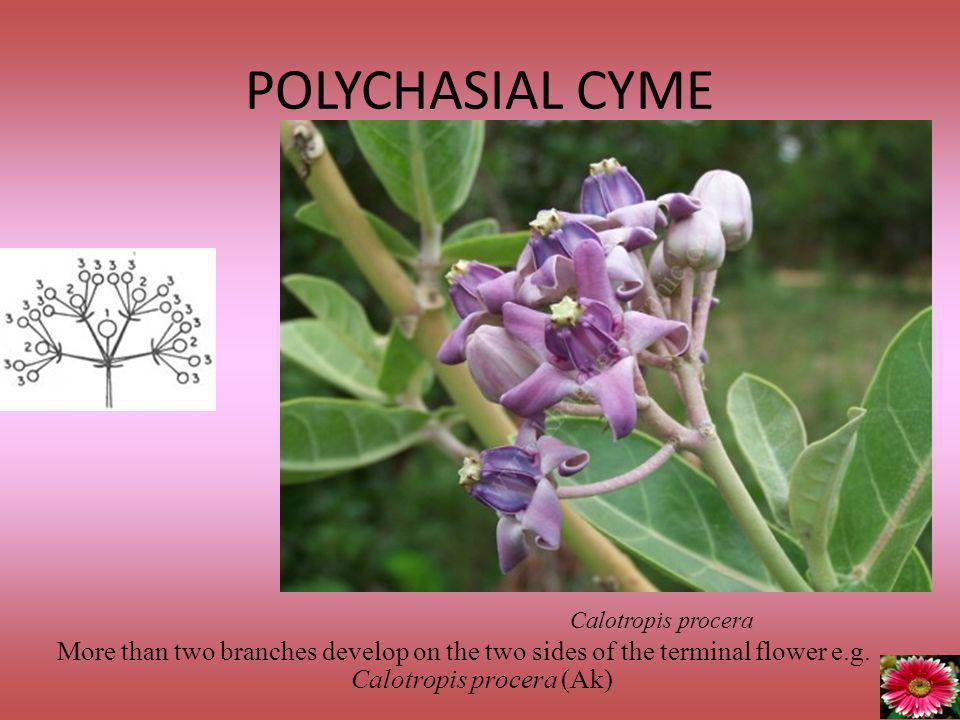 POLYCHASIAL CYME Calotropis procera.