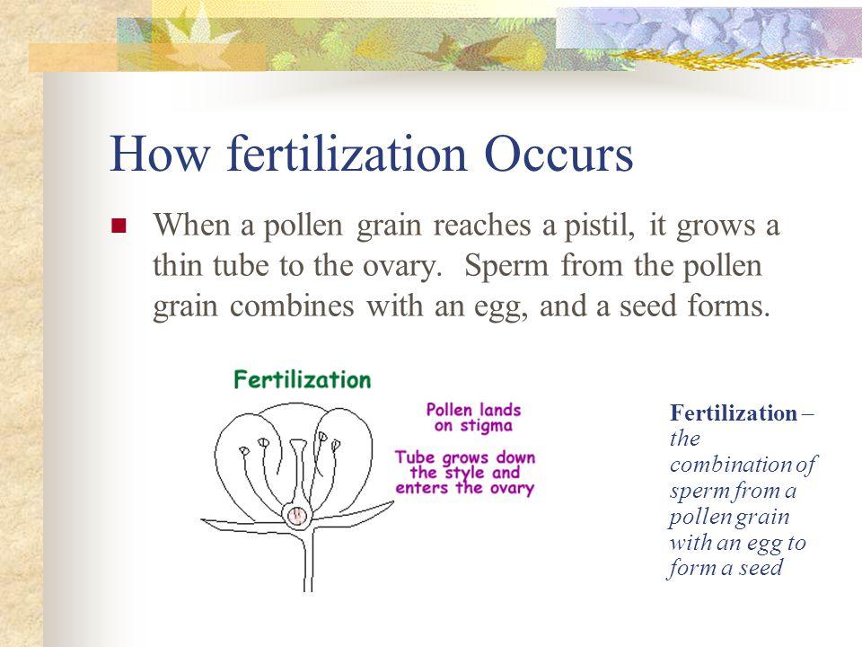 How fertilization Occurs