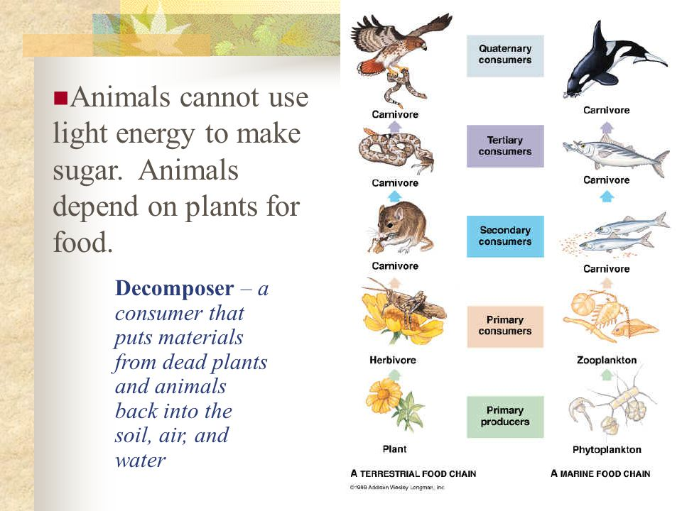Animals cannot use light energy to make sugar