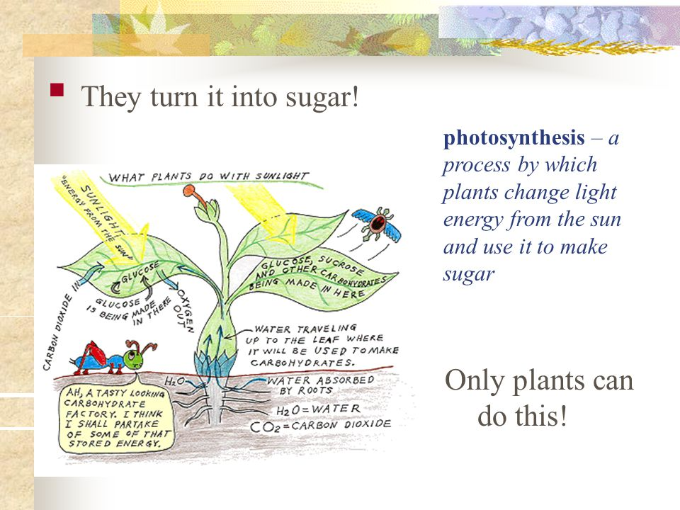 They turn it into sugar! Only plants can do this!