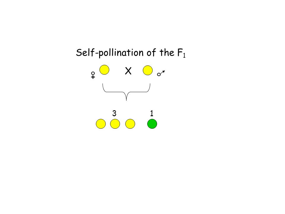 Self-pollination of the F1