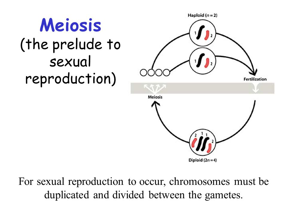 Meiosis (the prelude to sexual reproduction)