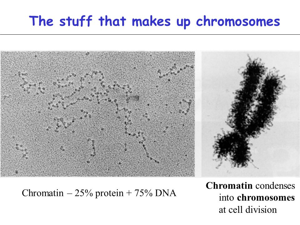 The stuff that makes up chromosomes