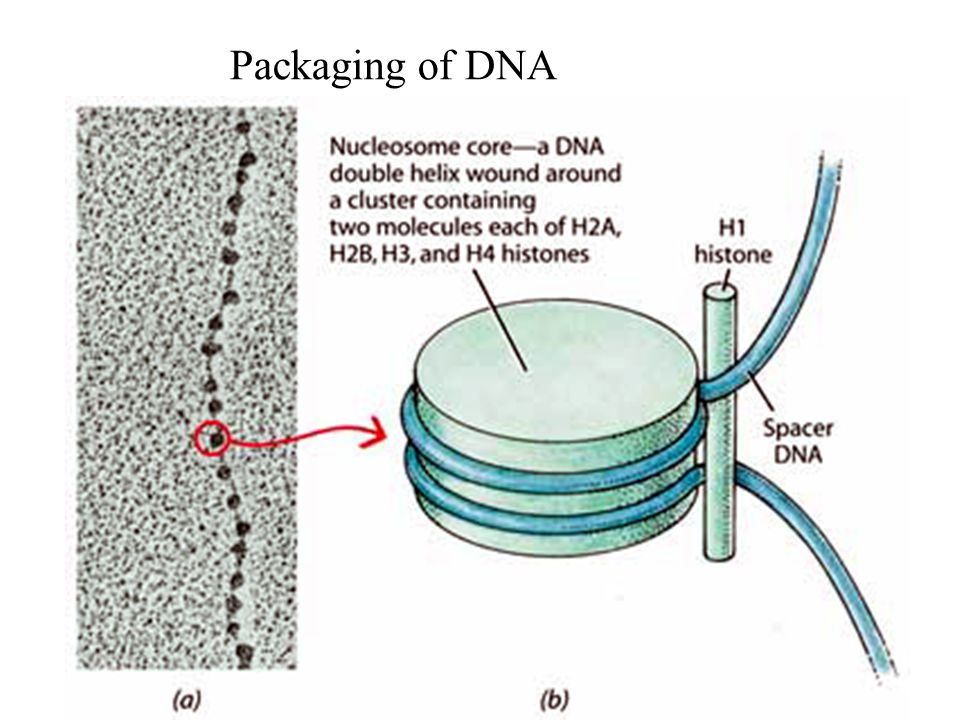 Packaging of DNA