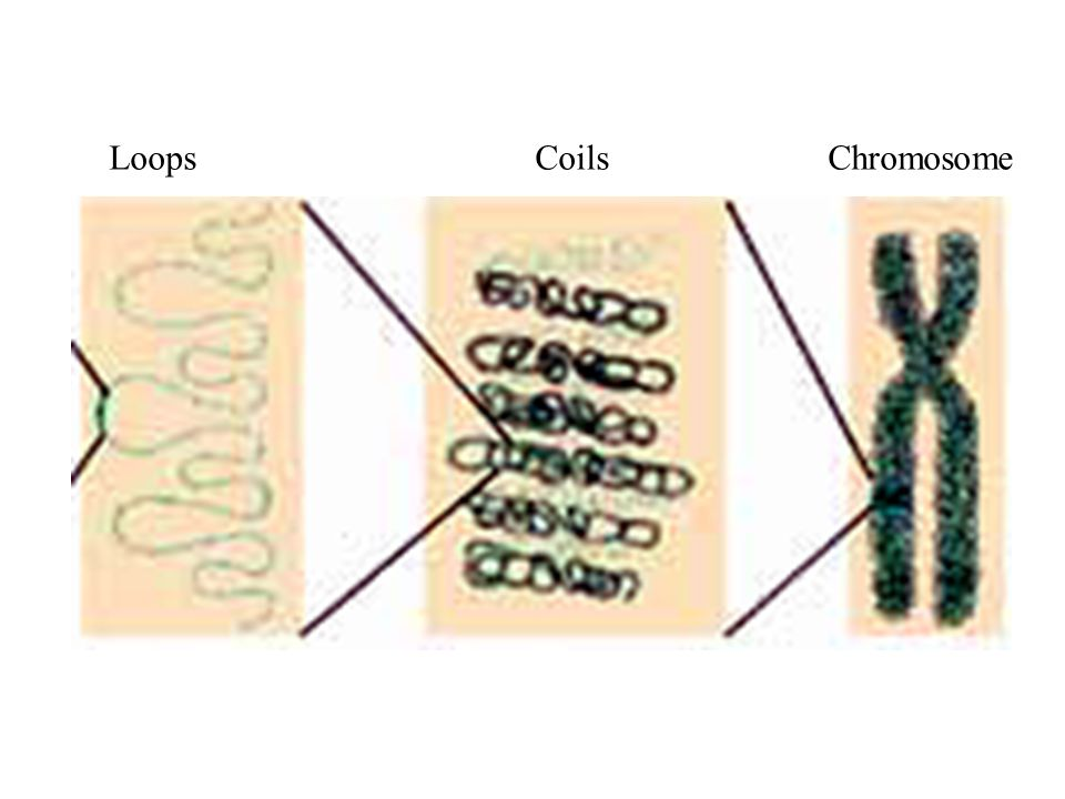 Loops Coils Chromosome