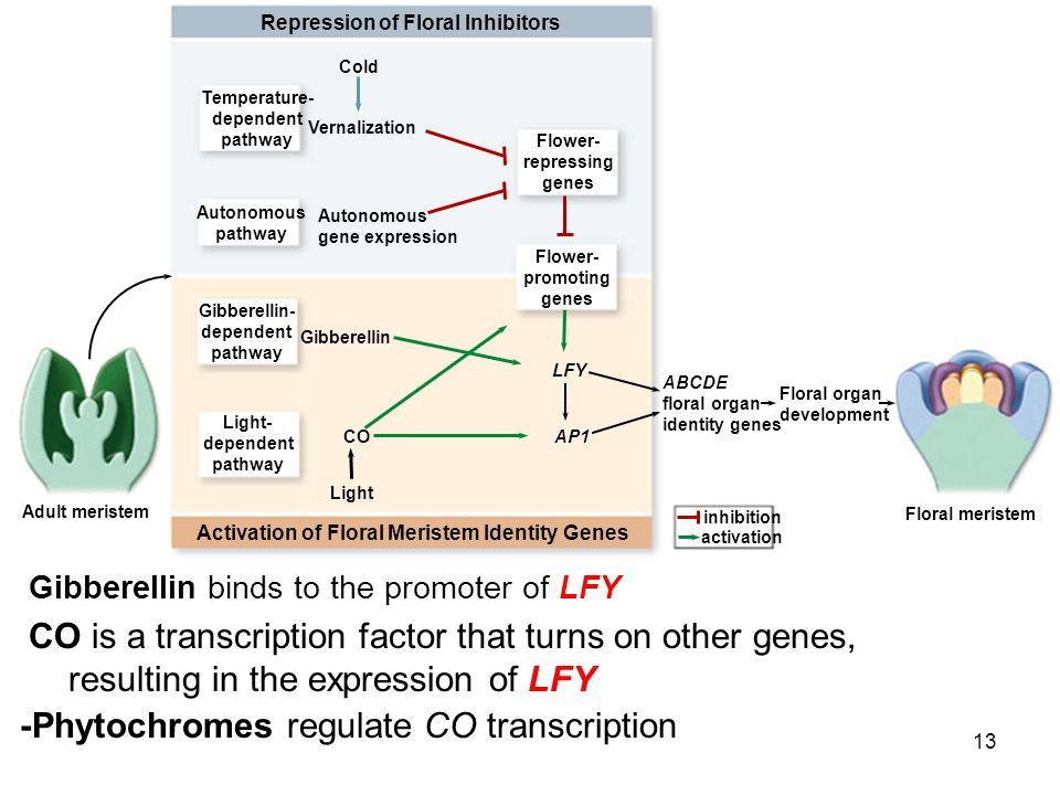 -Phytochromes regulate CO transcription