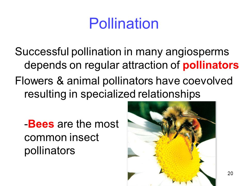 Pollination Successful pollination in many angiosperms depends on regular attraction of pollinators.