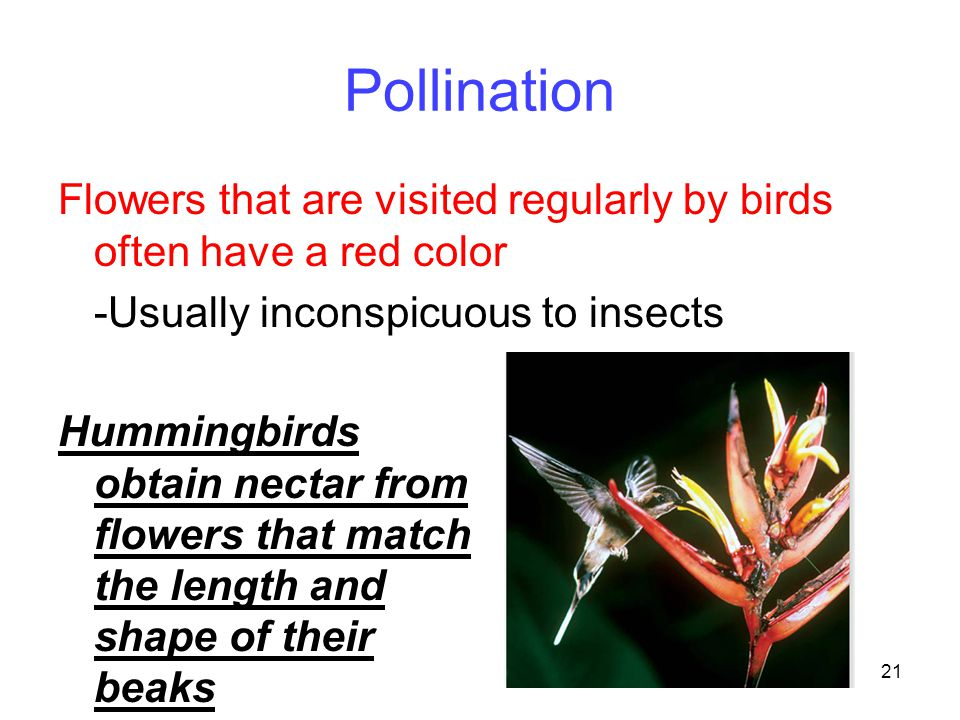 Pollination Flowers that are visited regularly by birds often have a red color. -Usually inconspicuous to insects.