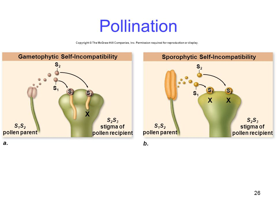 Pollination X a. b. Gametophytic Self-Incompatibility