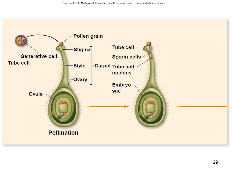Pollination Pollen grain Stigma Generative cell Sperm cells Tube cell