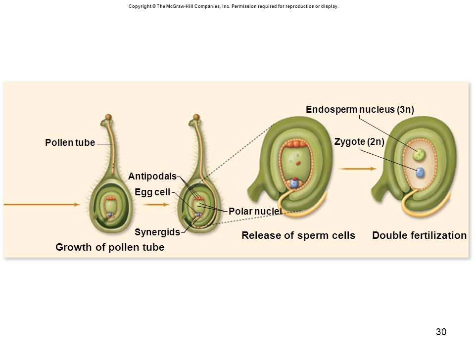 Growth of pollen tube Double fertilization Release of sperm cells