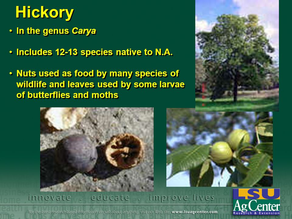 Hickory In the genus Carya Includes 12-13 species native to N.A.