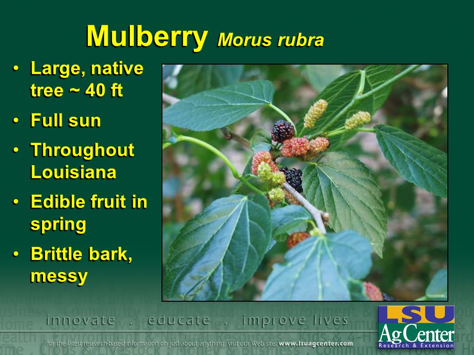 Mulberry Morus rubra Large, native tree ~ 40 ft Full sun