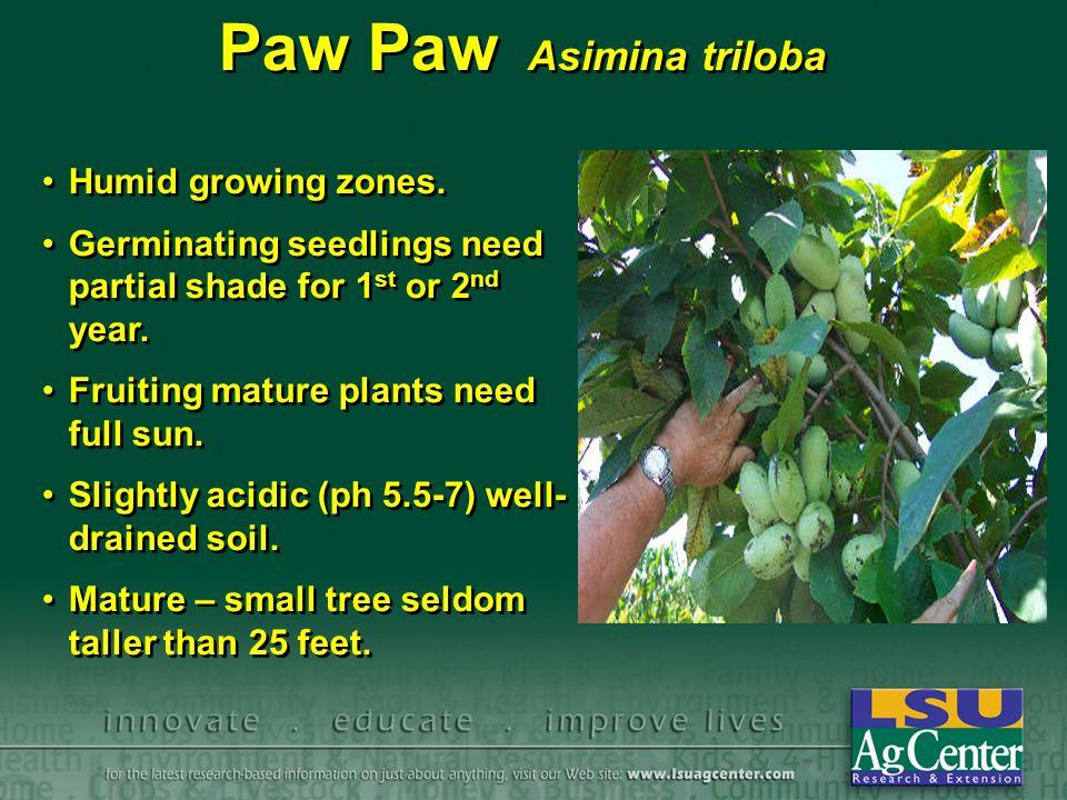 Paw Paw Asimina triloba