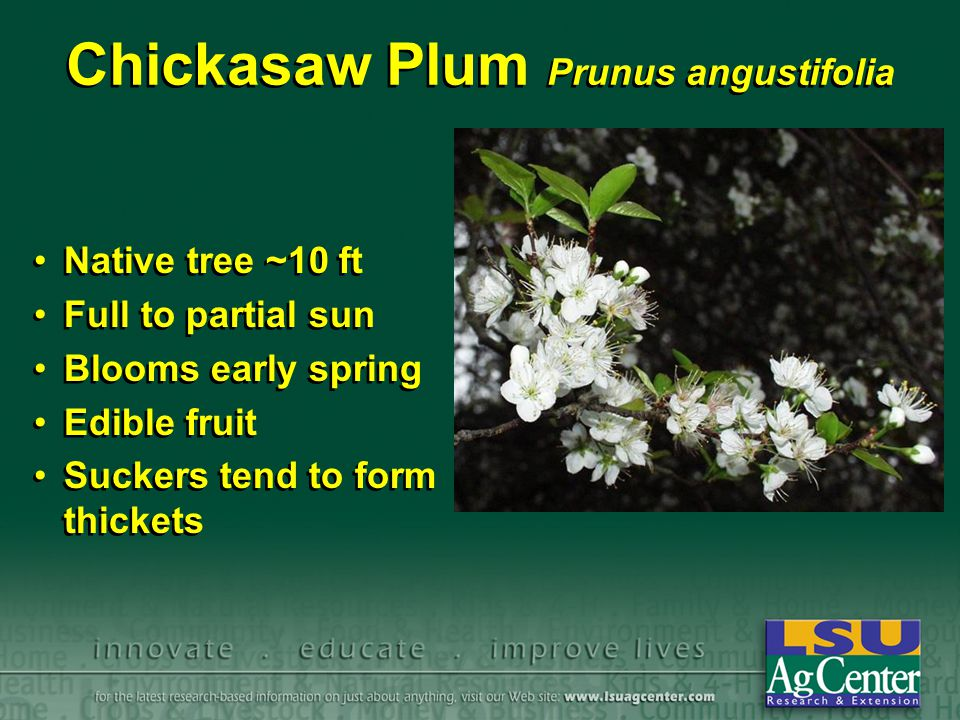 Chickasaw Plum Prunus angustifolia