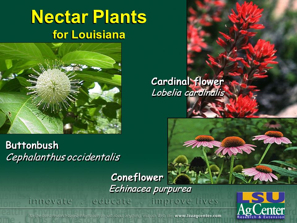 Nectar Plants for Louisiana
