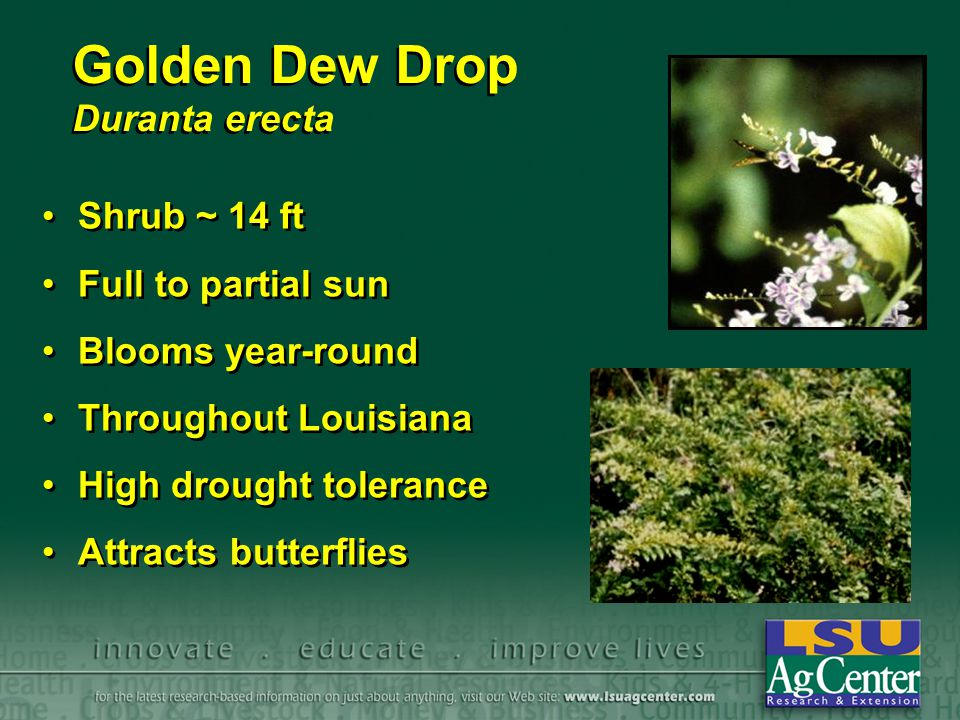 Golden Dew Drop Duranta erecta