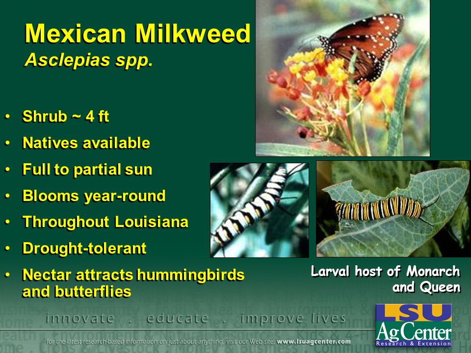 Mexican Milkweed Asclepias spp.