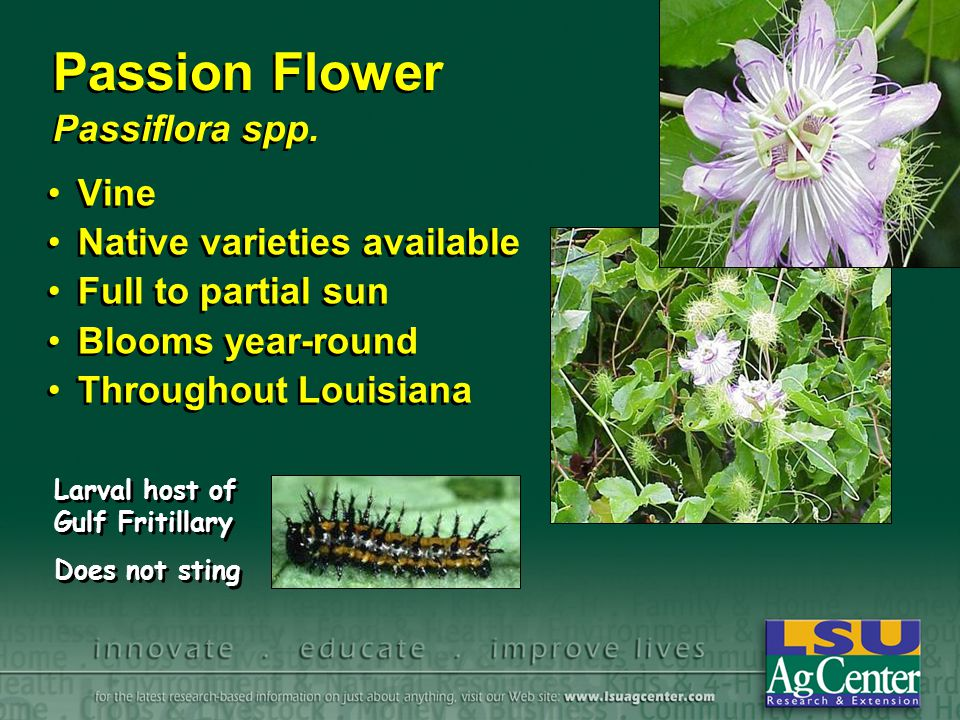 Passion Flower Passiflora spp.