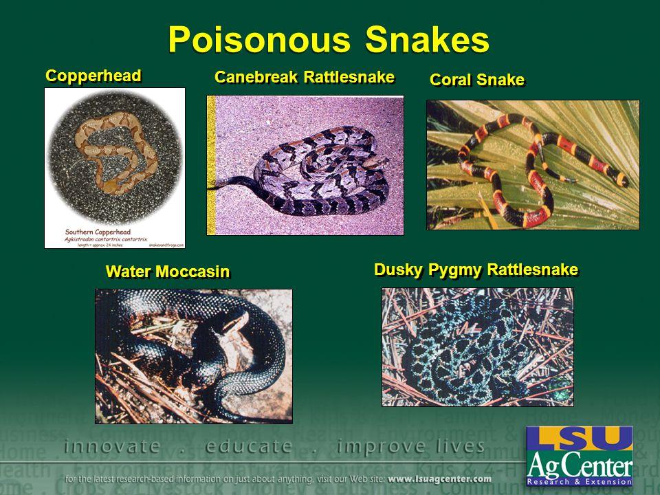 Poisonous Snakes Copperhead Canebreak Rattlesnake Coral Snake