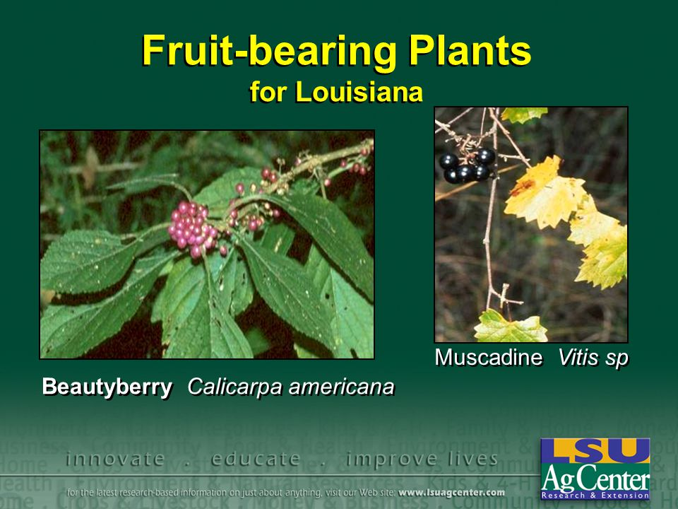 Fruit-bearing Plants for Louisiana