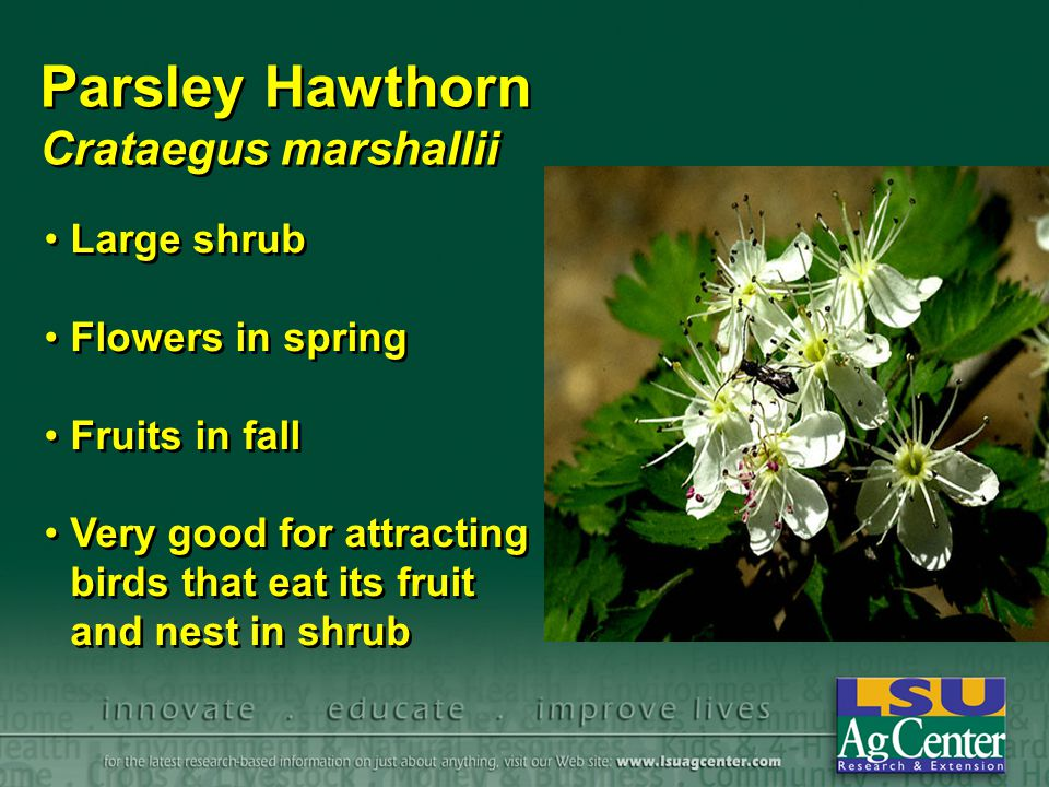 Parsley Hawthorn Crataegus marshallii Large shrub Flowers in spring