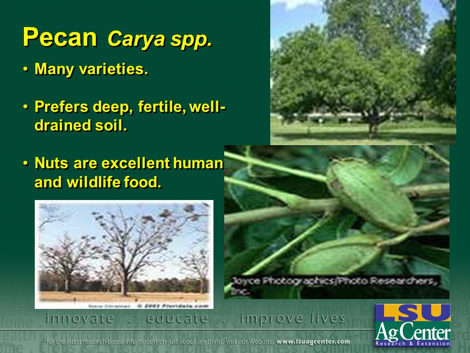 Pecan Carya spp. Many varieties.