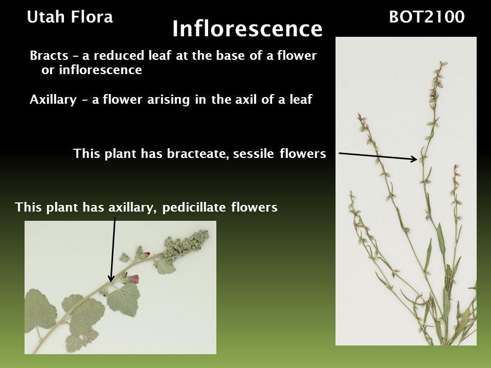 Inflorescence Utah Flora BOT2100