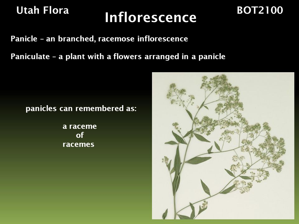 panicles can remembered as: