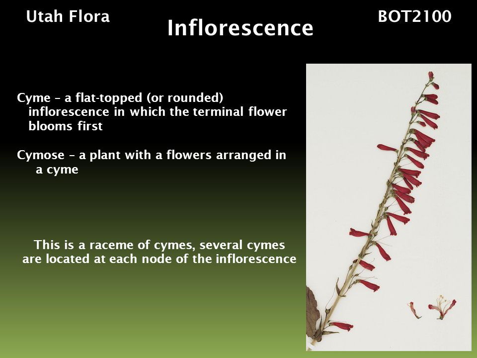 Inflorescence Utah Flora BOT2100 Cyme – a flat-topped (or rounded)