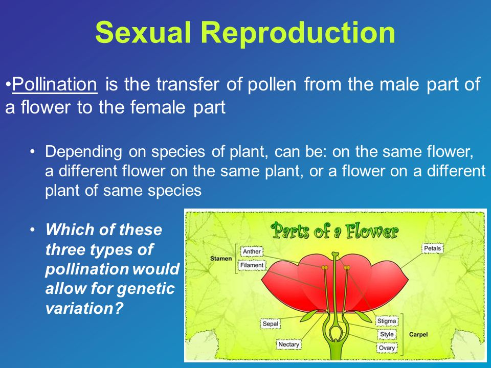 Sexual Reproduction Pollination is the transfer of pollen from the male part of a flower to the female part.