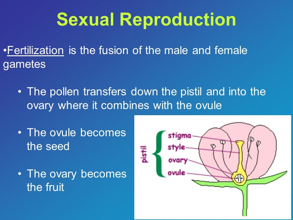 Sexual Reproduction Fertilization is the fusion of the male and female gametes.