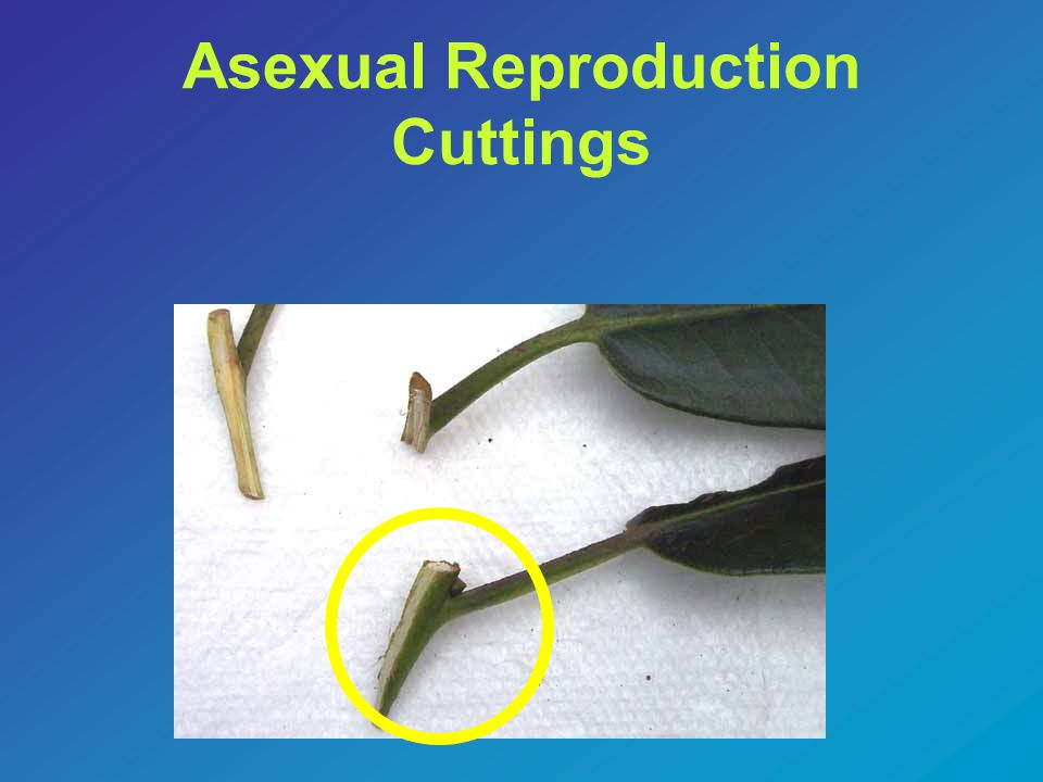 Asexual Reproduction Cuttings