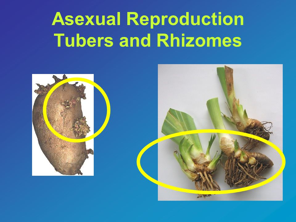 Asexual Reproduction Tubers and Rhizomes