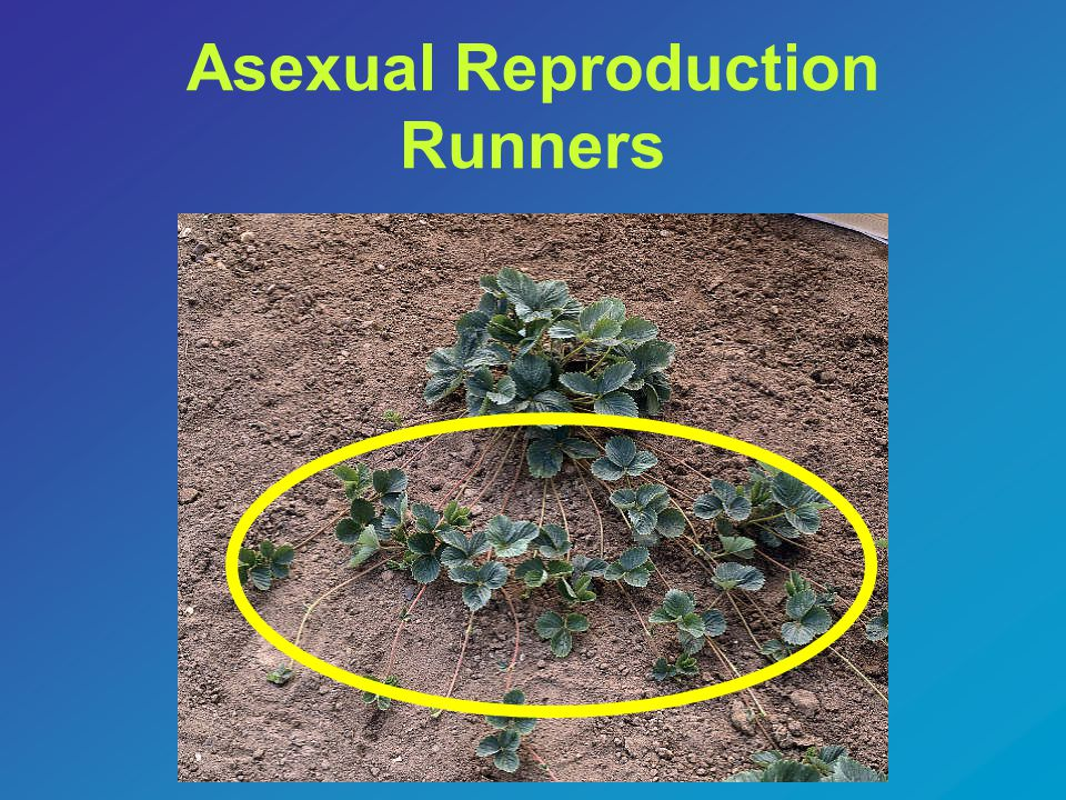 Asexual Reproduction Runners